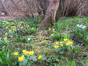 A contemporary Jungian. Aconites & Snowdrops, Benington Lordship; near Stevenage